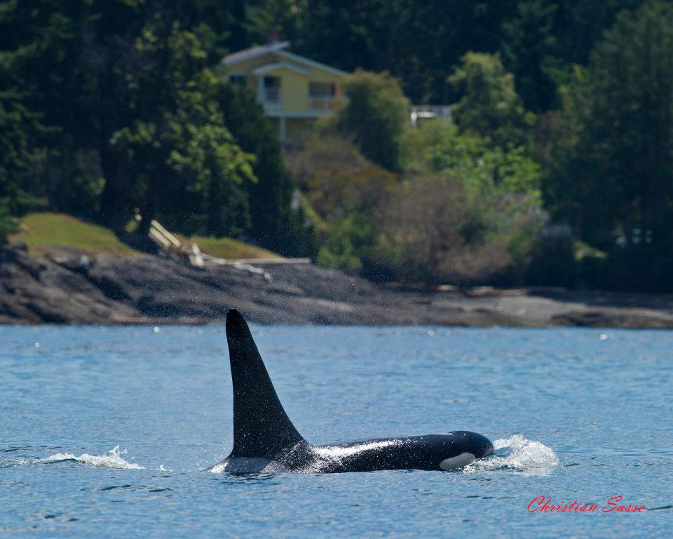 whale watching in Point Roberts